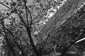 YOKOHAMA HIZAKURA 2017